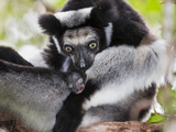 Indri (Indri Indri) Grooming Baby In Rainforest, East-Madagascar, Africa Photographic Print by Konrad Wothe