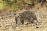 Southern Brown Bandicoot (Isoodon Obesulus) Digging, Tasmania, Australia Photographic Print by Dave Watts