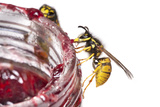 Common Wasps (Vespula Vulgaris) Feeding On A Pot Of Jam, Photographed Against A White Background Photographic Print by Alex Hyde