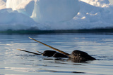 Narwhal (Monodon Monoceros) Showing Tusks Above Water Surface. Baffin Island, Nunavut, Canada Photographic Print by Eric Baccega