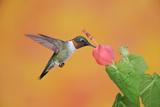 Ruby-Throated Hummingbird (Archilochus Colubris) Photographic Print by Rolf Nussbaumer