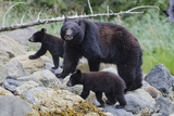 Vancouver Island Black Bear (Ursus Americanus Vancouveri) Mother With Cubs On A Beach Photographic Print by Bertie Gregory
