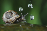 Copse Snail (Arianta Arbustorum) On Oak Tree Branch In Rain Photographic Print by Solvin Zankl