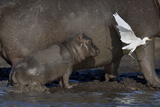 Baby Hippopotamus (Hippopotamus Amphibius) Spooked By Little Egret (Egretta Garzetta) In Flight Photographic Print by Lou Coetzer
