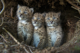 European Lynx (Lynx Lynx) Kittens In Den Photographic Print by Laurent Geslin