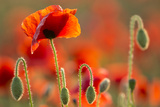 Common Poppies (Papaver Rhoeas) Backlit In Evening Light, Polly - Porth Joke, Pentire Photographic Print by Ross Hoddinott