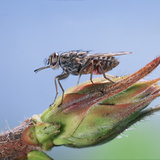 Tsetse Fly (Glossina Morsitans) Resting After Feeding, From Africa Photographic Print by Kim Taylor