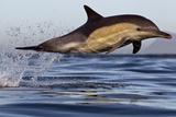 Common Dolphin (Dephinus Delphis) Porpoising, False Bay, Cape Town, South Africa Photographic Print by Chris & Monique Fallows