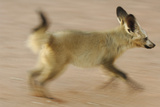 Bat-Eared Fox (Otocyon Megalotis) Running, Blurred Motion Photograph, Namib-Naukluft National Park Photographic Print by Solvin Zankl