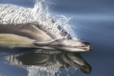 Long-Beaked Common Dolphin (Delphinus Capensis) Porpoising In Still Water, False Bay, South Africa Photographic Print by Chris & Monique Fallows
