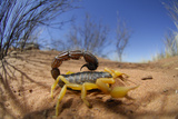 Desert Scorpion (Parabuthus Villosus) Namib Desert, Namibia Photographic Print by Solvin Zankl