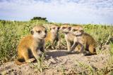 Meerkat (Suricata Suricatta) Babies, Makgadikgadi Pans, Botswana Fotografisk tryk af Will Burrard-Lucas