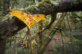 Male Comet - Madagascar Moon Moth (Argema Mittrei) Recently Emerged Drying Its Wings Photographic Print by Nick Garbutt