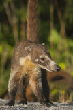 Cozumel Coati (Nasua Nelsoni) Cozumel Island, Mexico. Critically Endangered Endemic Species Photographic Print by Kevin Schafer
