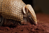 La Plata - Southern Three-Banded Armadillo (Tolypeutes Matacus) Foraging, Captive Photographic Print by Michael Durham