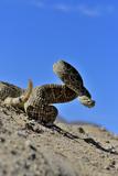 Mojave Rattlesnake (Crotalus Scutulatus) Mojave Desert, California, June Fotografisk tryk af Daniel Heuclin