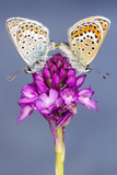 Silver-Studded Blue Butterfly (Plebejus Argus) Pair Mating Photographic Print by Ross Hoddinott