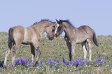 Wild Mustang Foals Among Wild Flowers, Pryor Mountains, Montana, USA Photographic Print by Carol Walker