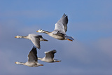 Bar Headed Geese (Anser Indicus) Group Of Four In Flight Above The Lashihai Lake Photographic Print by Dong Lei