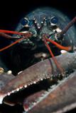 A Portrait Of A European Clawed Lobster (Homarus Gammarus) Photographic Print by Alex Mustard