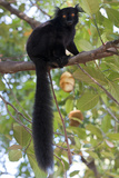 Black Lemur (Eulemur Macaco) Male, Nosy Komba, Madagascar Photographic Print by Bernard Castelein