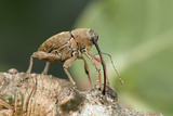 Acorn Weevil (Curculio Venosus) Drilling Into Oak Twig To Drink Sap. Captive, UK, August Photographic Print by Andy Sands