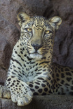 Male Arabian Leopard (Panthera Pardus Nimr) At Arabian Wildlife Centre Photographic Print by Nick Garbutt
