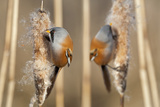 Two Male Bearded Reedling (Panurus Biarmicus) Eating Seeds From A Common Bulrush (Typha Latifolia) Photographic Print by Philippe Clement