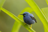 Shining Honeycreeper (Cyanerpes Lucidus) Costa Rica Photographic Print by Paul Hobson