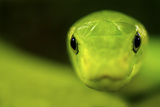 Eastern Green Mamba (Dendroaspis Angusticeps) Head Portrait, Captive, From East Africa Photographic Print by Edwin Giesbers