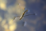 Common Pond Skater - Water Strider (Gerris Lacustris) On Water. New Forest, UK, July Fotografie-Druck von Colin Varndell