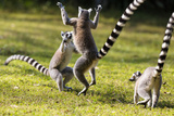 Ringtailed Lemurs Playing (Lemur Catta) Nahampoana Reserve, South Madagascar, Africa Photographic Print by Konrad Wothe