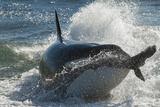 Orca (Orcinus Orca) Hunting Sea Lion Pups, Peninsula Valdez, Patagonia Argentina Photographic Print by Gabriel Rojo