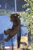 Black Bear (Ursus Americanus) Cub Climbing A Fence, Minnesota, USA, May Photographic Print by  Shattil & Rozinski