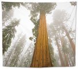 Giant Sequoia trees in snow and fog in Sequoia National Park Tapestry by John Eastcott & Yva Momatiuk