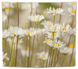 USA, Colorado, Grand County. Oxeye Daisies Tapestry by Jaynes Gallery