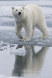Norway, Svalbard. Polar Bear Walks over Ice Photographic Print by Jaynes Gallery