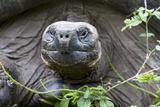 Ecuador, Galapagos Islands, Santa Cruz Highlands. Face of a Wild Galapagos Giant Tortoise Fotoprint van Ellen Goff