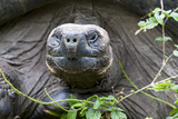 Ecuador, Galapagos Islands, Santa Cruz Highlands. Face of a Wild Galapagos Giant Tortoise Photographic Print by Ellen Goff