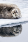 Norway, Svalbard, Pack Ice, Bearded Seal on Ice Photographic Print by Ellen Goff