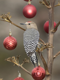 Arizona, Buckeye. Male Gila Woodpecker on Decorated Stalk at Christmas Time Photographic Print by Jaynes Gallery