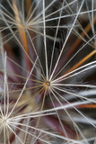 California. Dandelion Close-Up Photographic Print by Jaynes Gallery