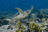 Indonesia, Komodo National Park, Tatawa Besar. Close-Up of Hawksbill Sea Turtle Fotoprint van Jaynes Gallery