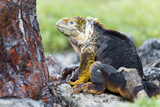 Ecuador, Galapagos Islands, Plaza Sur, Male Land Iguana Photographic Print by Ellen Goff
