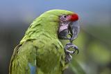Buffon's Macaw, Costa Rica Photographic Print by Tim Fitzharris