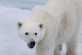 Europe, Norway, Svalbard. Polar Bear Cub Close-Up Photographic Print by Jaynes Gallery