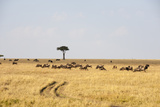 Wildebeest, Masai Mara, Kenya Photographic Print by Sergio Pitamitz