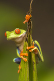 Central America, Costa Rica. Red-Eyed Tree Frog Close-Up Photographic Print by Jaynes Gallery