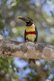 Brazil, Mato Grosso, the Pantanal, Chestnut-Eared Aracari in a Tree Photographic Print by Ellen Goff