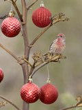 Arizona, Buckeye. Male House Finch Perched on Decorated Agave Stalk at Christmas Time Photographic Print by Jaynes Gallery
